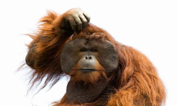 monkey-scratching-head-600x360